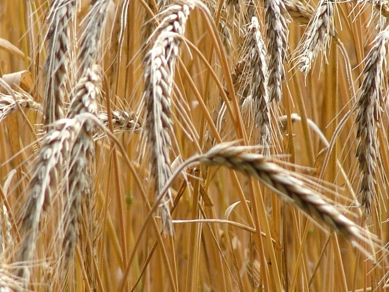 Scientists conduct research to determine impact of heat on wheat