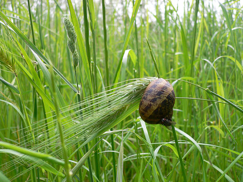 SARDI expands research to include management of snails and slugs