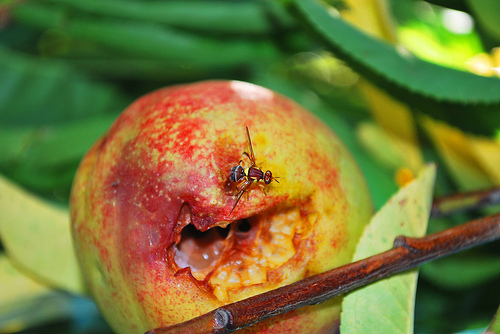 Good news for Queensland growers following fruit fly infestation