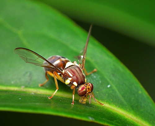 Disrupting insect's mating cycle key to protecting Australia's farms