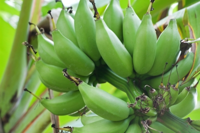 Disease-stricken farms send out first banana shipments