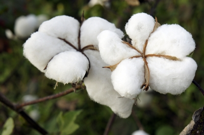 Beef producer Stanbroke proposes $200m cotton farm